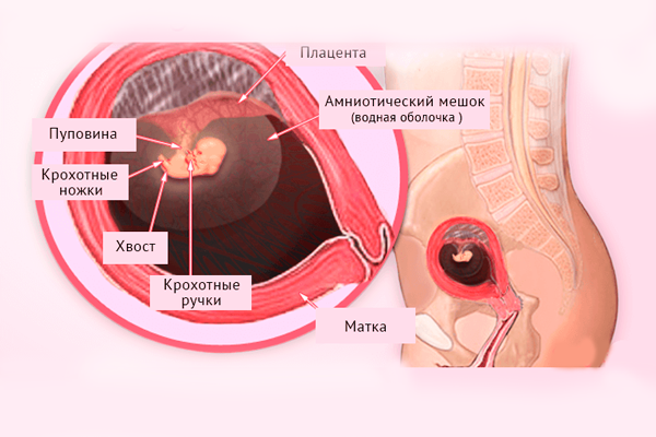 Строение плода на 6-й недели беременности