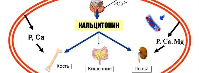 Гормон кальцитонин