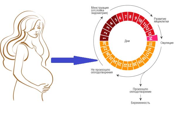 Восстановление менструального цикла после беременности и родов