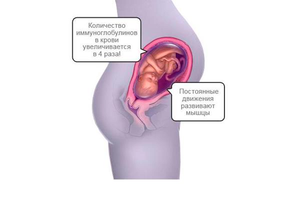 Строение плода на 31-й недели беременности