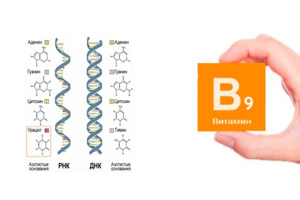 Формирование ДНК и РНК под воздействием фолиевой кислоты