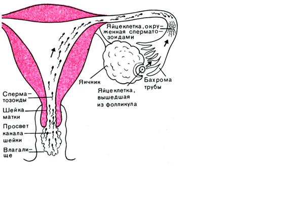 Путь сперматозоидов к яйцеклетке