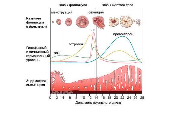 Соотношение гормонов ФСГ и ЛГ в менструальном цикле