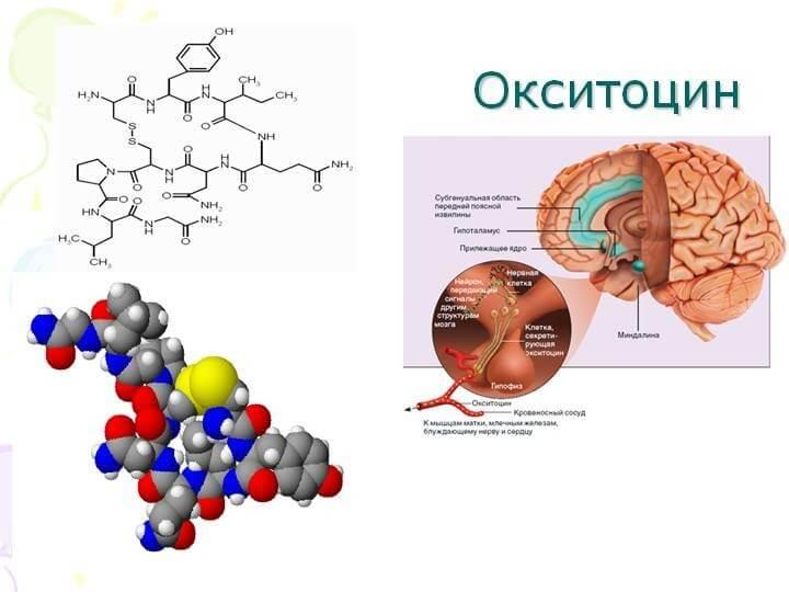 Где выделяется окситоцин