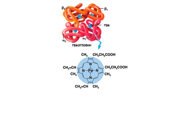 Химическая формула и структура молекулы гемоглобина