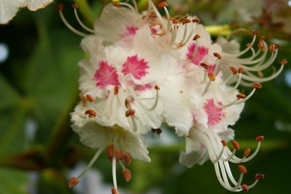 цветки каштана от кисты