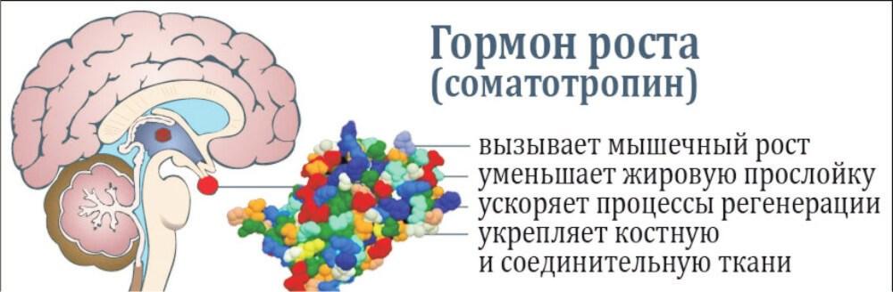 соматотропин влияние на организм