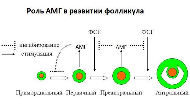 роль АМГ в развитии фолликула