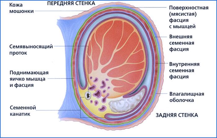 Строение мужского яичка