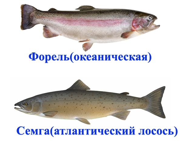 лосось и семга это одно и тоже