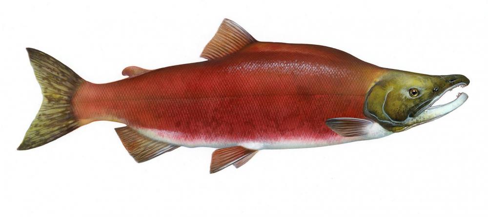 Промысловая рыба нерка