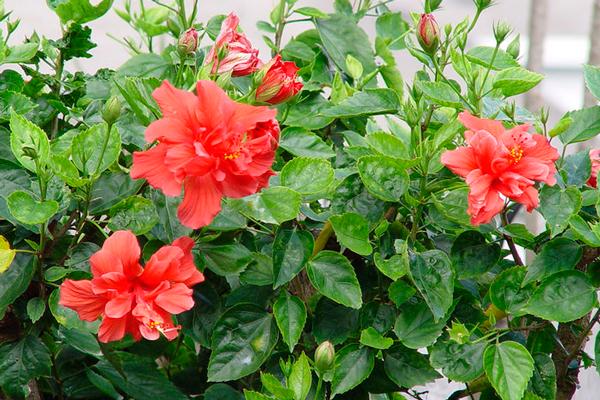 Растение Гибискус из которого готовится чай каркаде