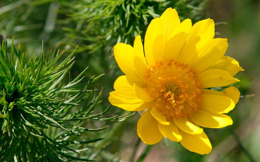 Цветок адонис: посадка и уход в открытом грунте, виды и сорта с фото