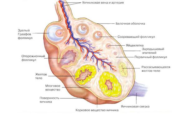 Участие гормона ФСГ в образовании желтого тела