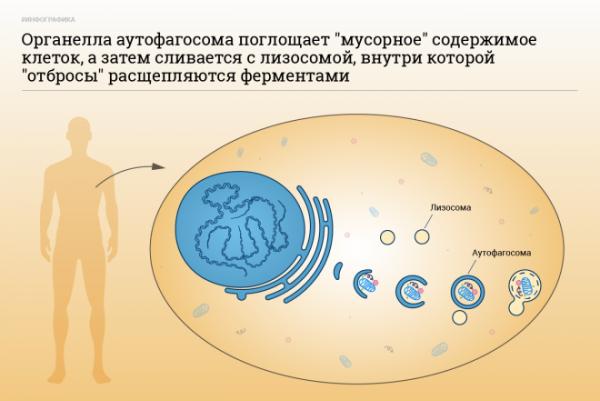 Аутофагия - как правильно голодать: о периодическом голодании с отзывами