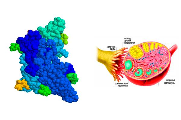 Влияние ФСГ на созревание фолликулов в яйцеклетке