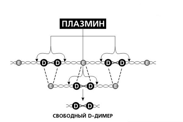 Схема образования Д-Димера
