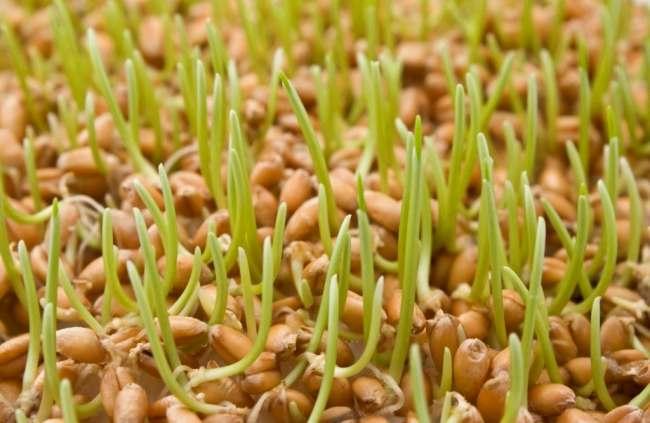 Зерна в момент прорастания
