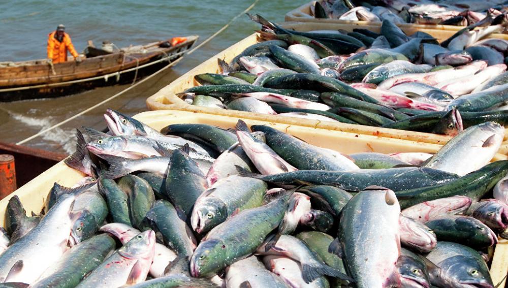 вылов лососей