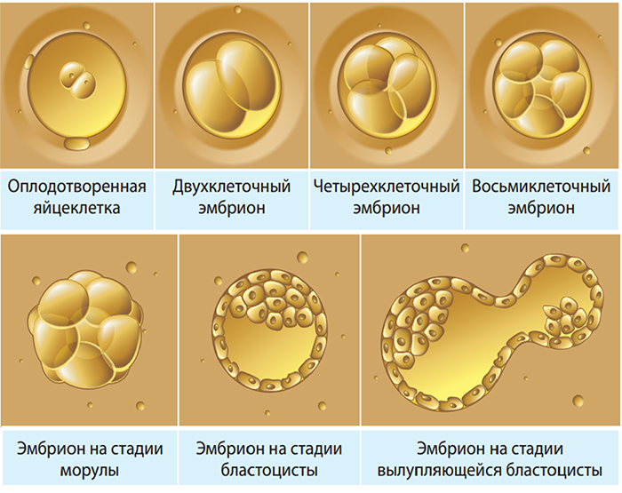 Развитие Эмбрионов перед их подсадкой