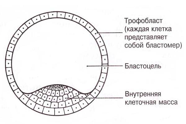 Упрощенная схема бластоцисты
