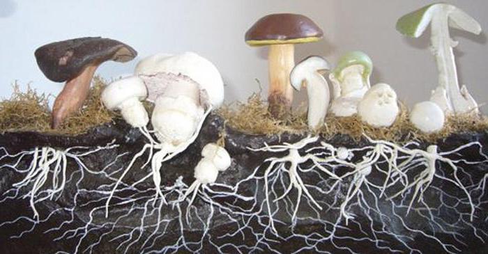 Зачем есть грибы, ведь они не перевариваются: 4 мифа об их полезности с фактами