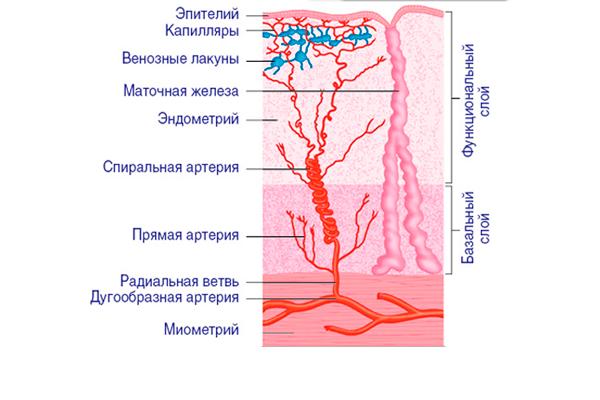 Строение эндометрия