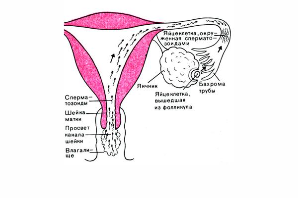 Встреча сперматозоида с яйцеклеткой