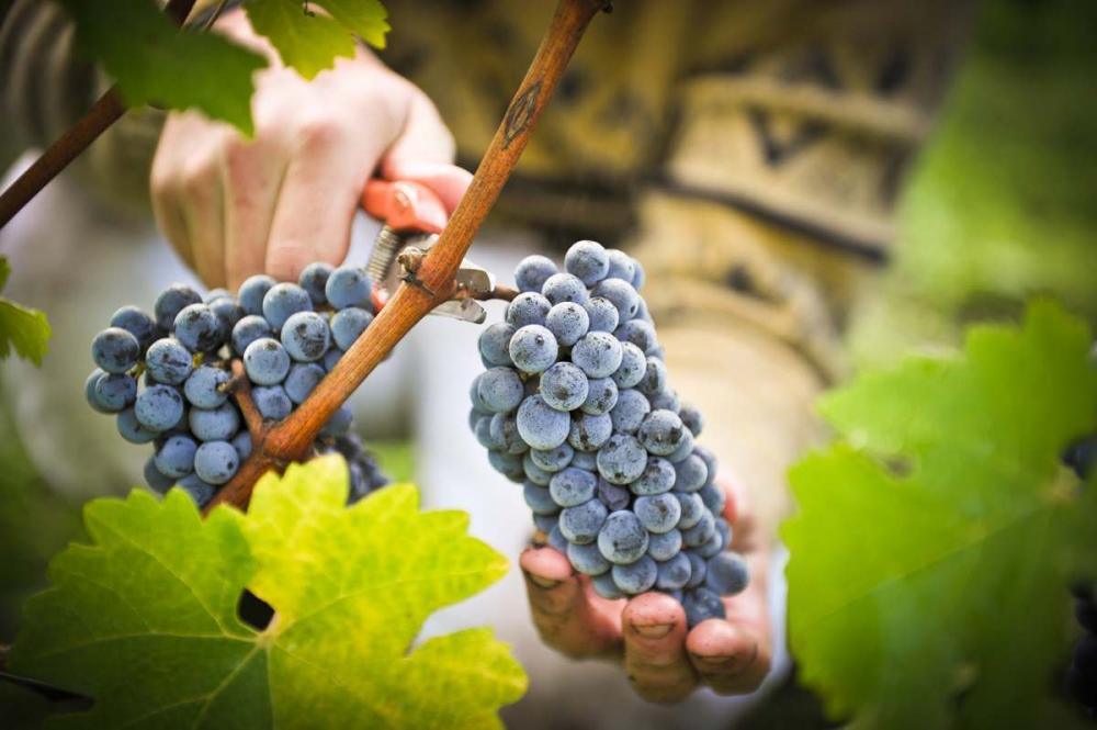 Сбор винограда в Дагестане стал рекордным | APK-news.ru