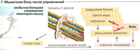 Восстановление мышц после тренировки, боль в мышцах, крепатура
