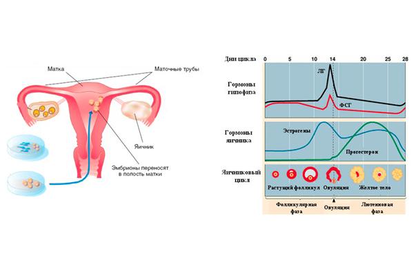 Нормализация гормонального баланса у женщины после процедуры ЭКО
