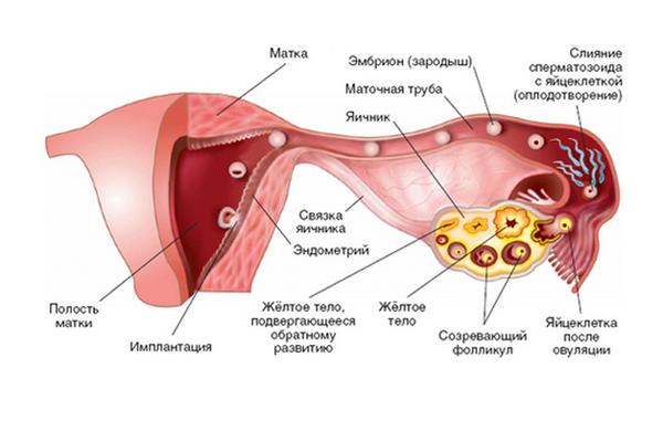 Схема выработки прогестерона