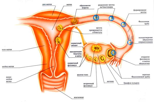 Закрепление эмбриона в матке